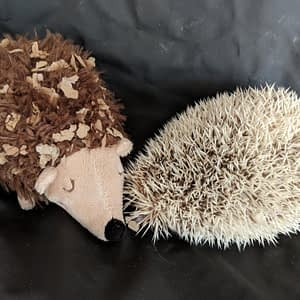Albino Hedgehog curled up on a Sheets of San Francisco black fluiproof sheet with a soft toy hedgehog to keep her company