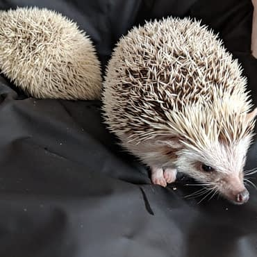 Diaries of a Hedgehog – Better Together