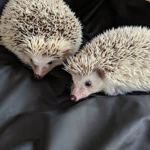To illustrate our diaries of a hedgehog article a pair of albino hedgehogs on a black Sheets of San Francisco fluidproof sheet
